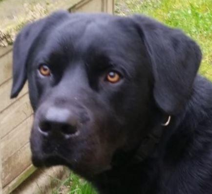 Ouako chien mâle Labrador 1 an et demi