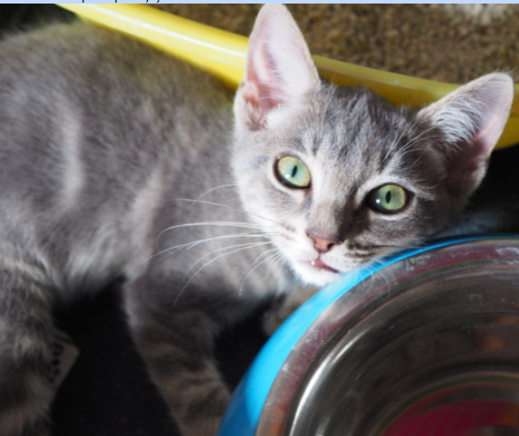PEPITO – 2 mois 1/2 – chaton très craquant