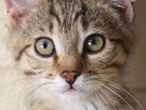 PUMBA - 3 mois 1/2 - chaton craquant