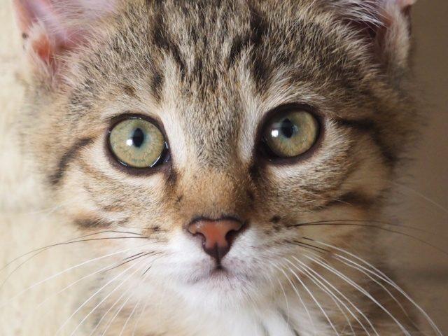 PUMBA – 3 mois 1/2 – chaton craquant