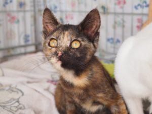 PIROUETTE - 3 mois - petite chatonne espiègle