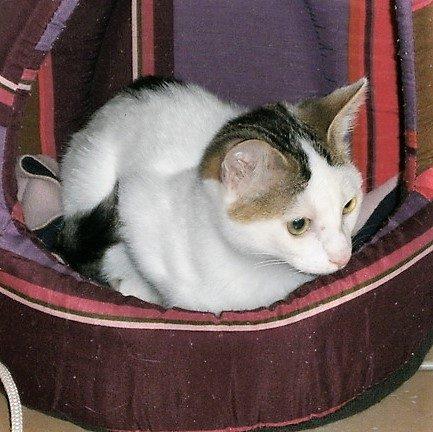 Nutty mâle chaton 4 mois