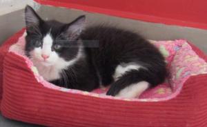 """PACHY - 3 mois 1/2 - chaton """"calinou"""""""