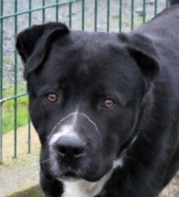 Paco chien mâle croisé Cane Corso 1 an