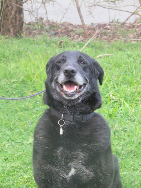 Paco mâle type Labrador 8 ans et demi