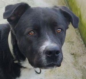 Paco chien mâle croisé Cane Corso 2 ans