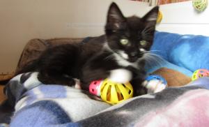 Paloma - 3 mois - chatonne câline