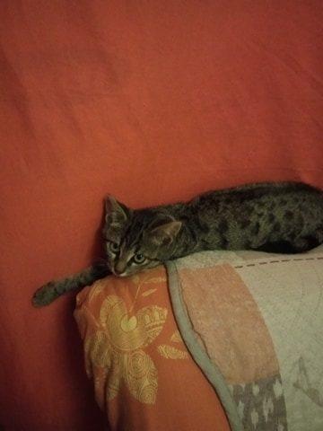 PASTELLE –   3 mois 1/2 – chatonne discrète