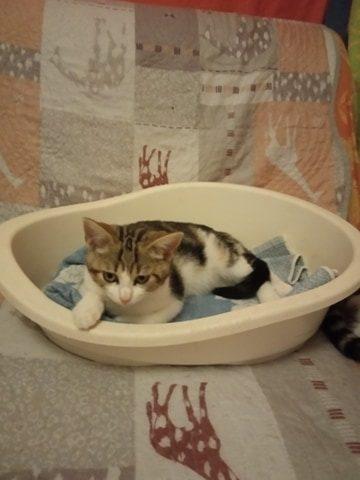 PATCHOULI – 3 mois – chatonne timide et joueuse
