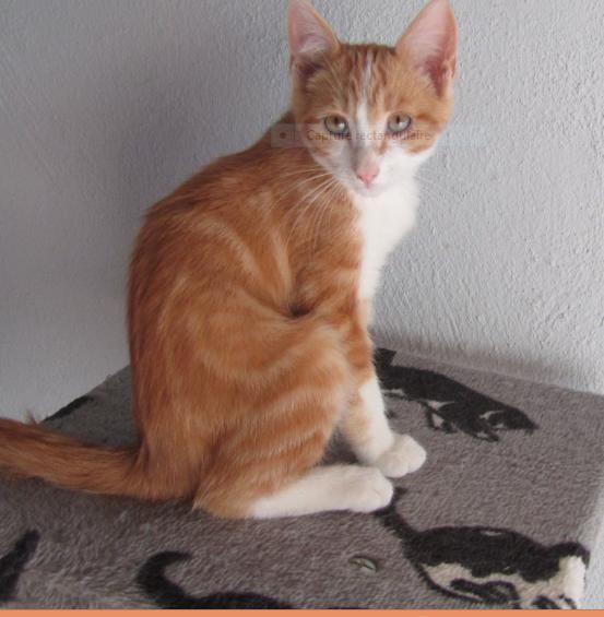 PEPSI – 4 mois 1/2 – chaton bien sage