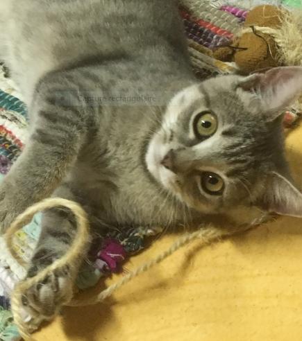 PEPSY – 5 mois – jolie chatonne craquante