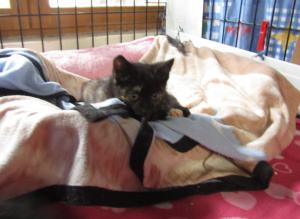 PERNELLE - 3 mois - chatonne un peu timide