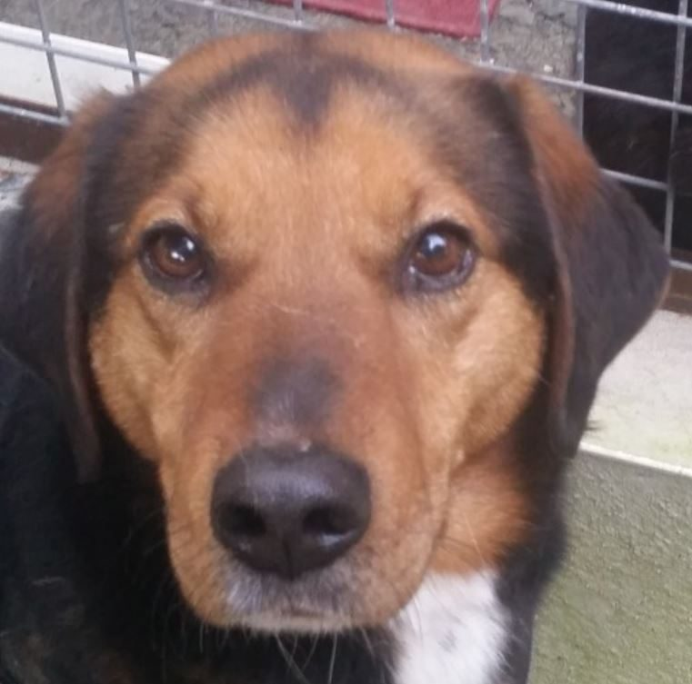 Pilou chien mâle croisé Berger 3 ans