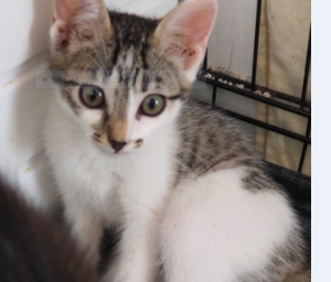 PISTACHE - 3 mois 1/2 - joli chaton curieux