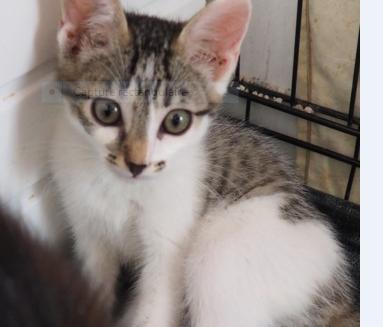 PISTACHE – 3 mois 1/2 – joli chaton curieux