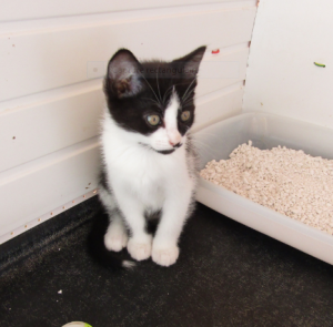 Pitter - 3 mois - chaton espiègle