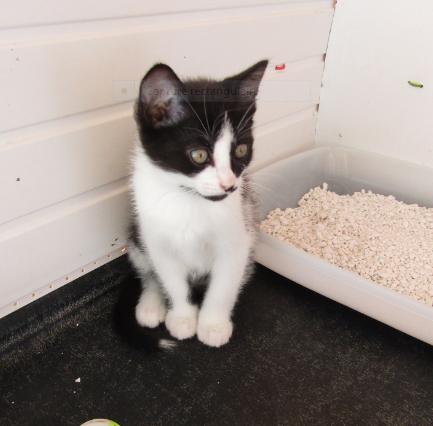 Pitter – 3 mois – chaton espiègle