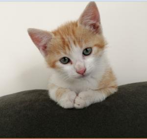 PIXOU - 2 mois 1/2  - chaton joueur