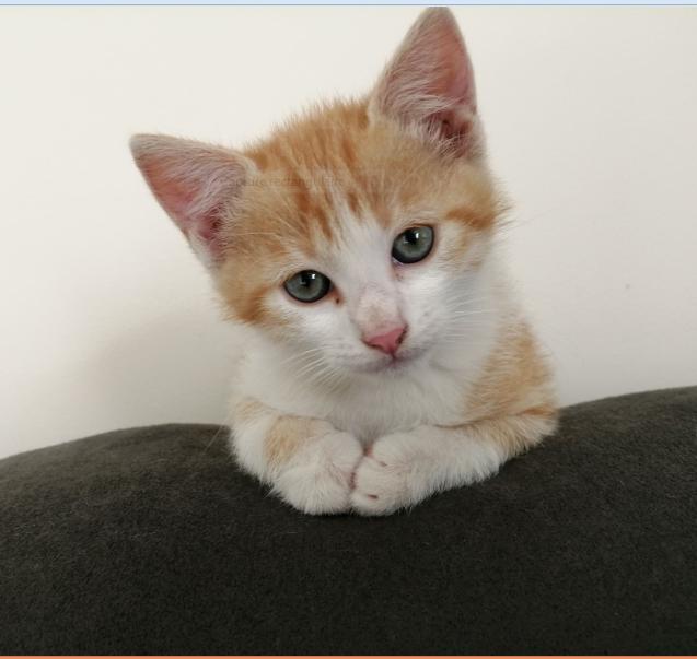 PIXOU – 2 mois 1/2  – chaton joueur