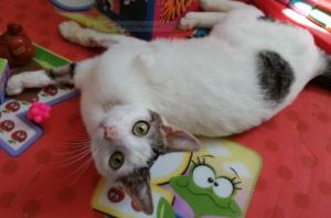 PIXOU - 1 an  - jeune chat joueur
