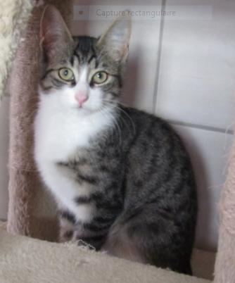 POLLUX – bientôt 6 mois – gentil chaton  calme