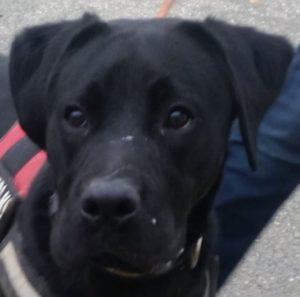 Polo chien mâle croisé Labrador/Pointer 1 an