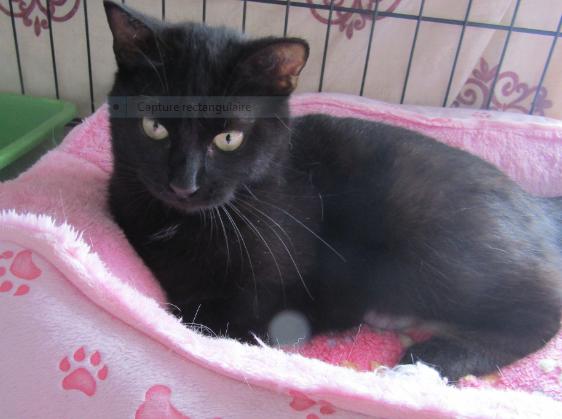 POUPY – 16 mois – jeune chatte très joueuse