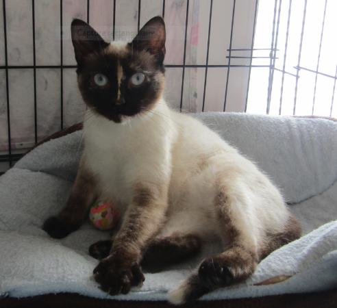 PRALINE – 16 mois – jeune chatte câline