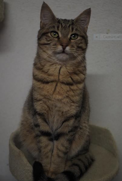 PUMBA – 7 mois  – jeune chat craquant