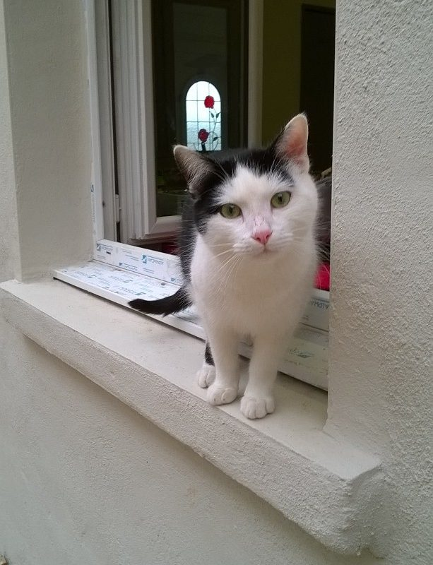MANGO – sympathique  chat adulte