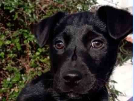 Réglisse chiot mâle croisé Labrador 2 mois