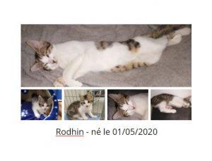 RHODIN - né le 01/05/2020 - chaton