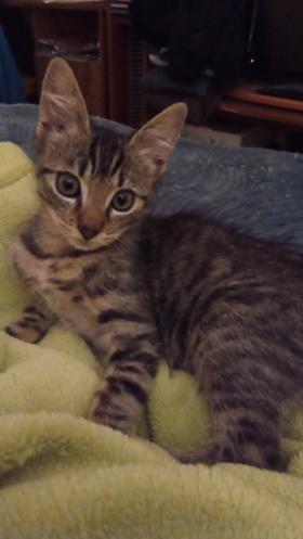 RIMBAUD – né le 10/08/2020  – chaton timide