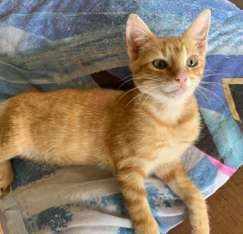 RODDY – né le 6/06/2020  – adorable chaton