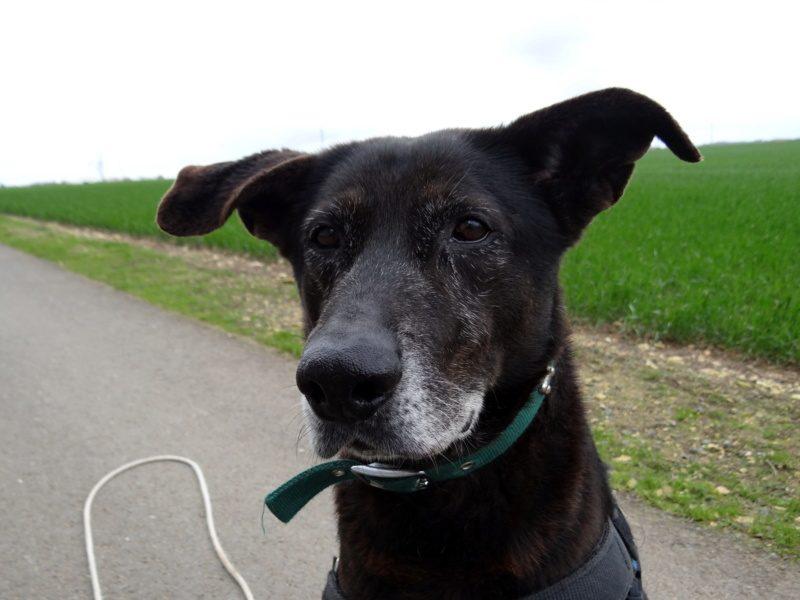 Ronny mâle croisé Labrador 9 ans et demi