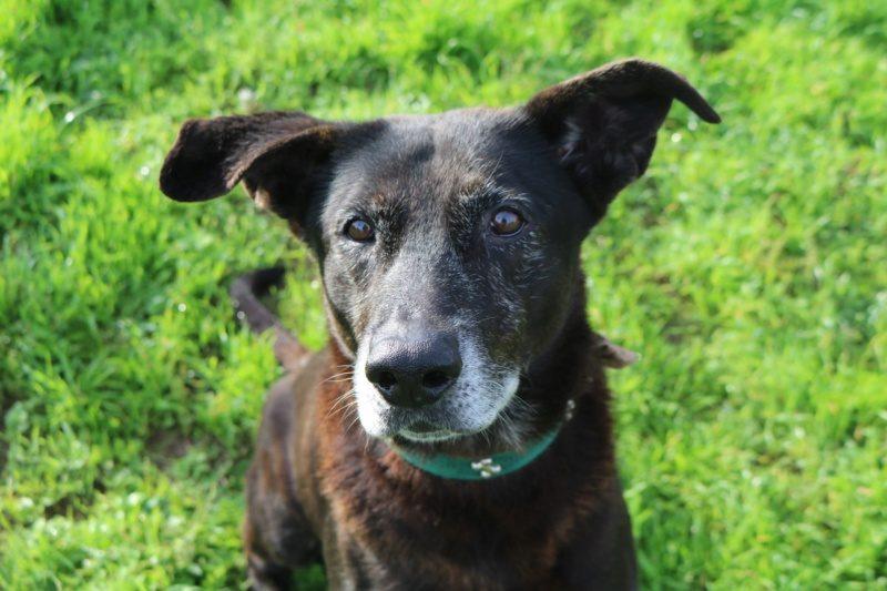 Ronny mâle croisé Labrador 10 ans