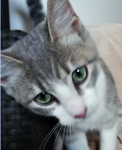 ROSA - née le 01/05/2020 - adorable chatonne