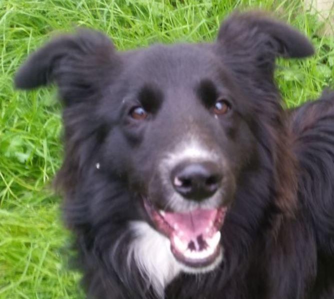 Saxo chien mâle croisé Boder Collie 3 ans