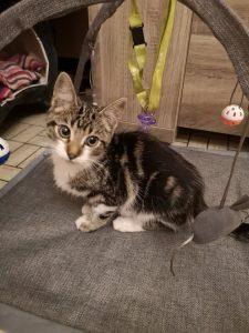 SAXO, très beau chaton né le 01/06/2021