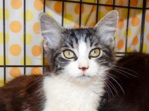 SHOUPY - chaton né le 01/06/21
