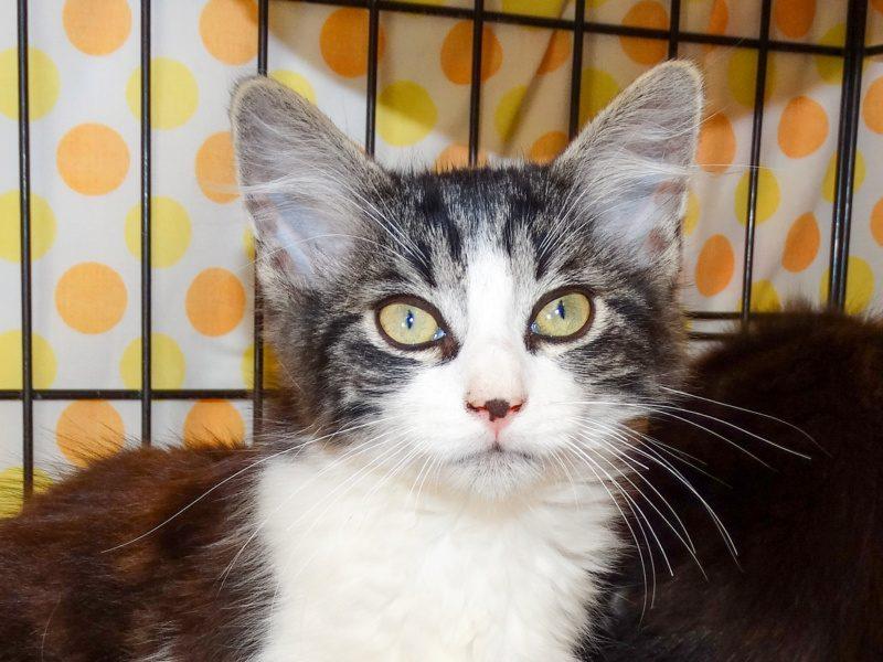 SHOUPY – chaton né le 01/06/21
