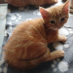 chatons tigrés roux M-F