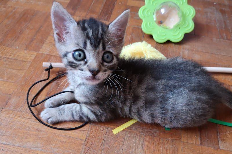 STANISLAS (chaton pour réservation)