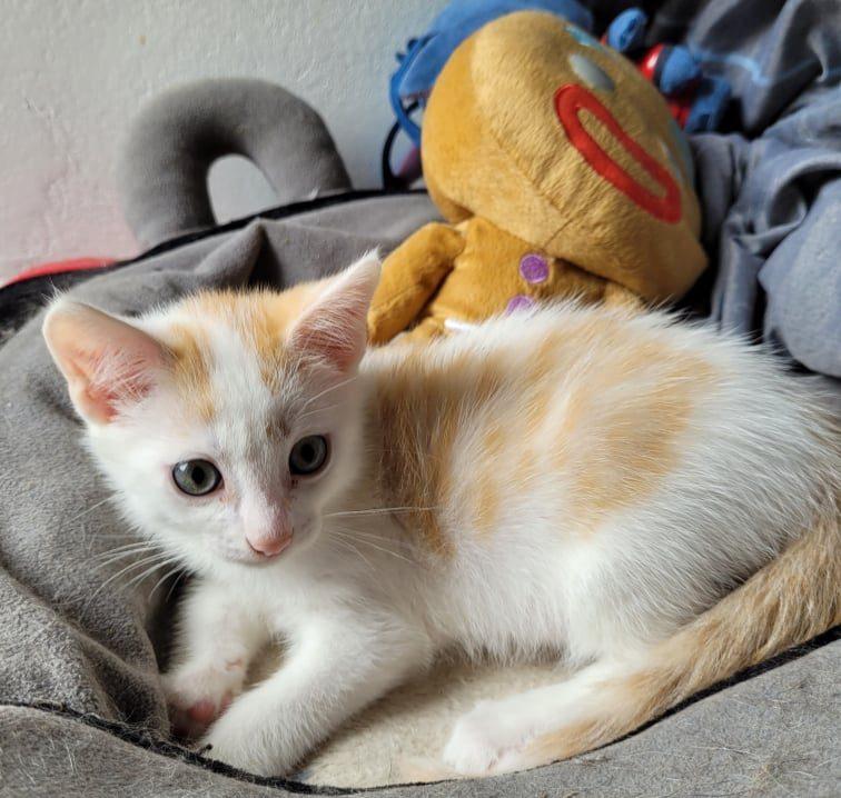 SWANNY – chaton très câlin (né le 25/04/21)