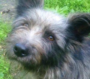 Taccia chien mâle croisé Griffon 3 ans