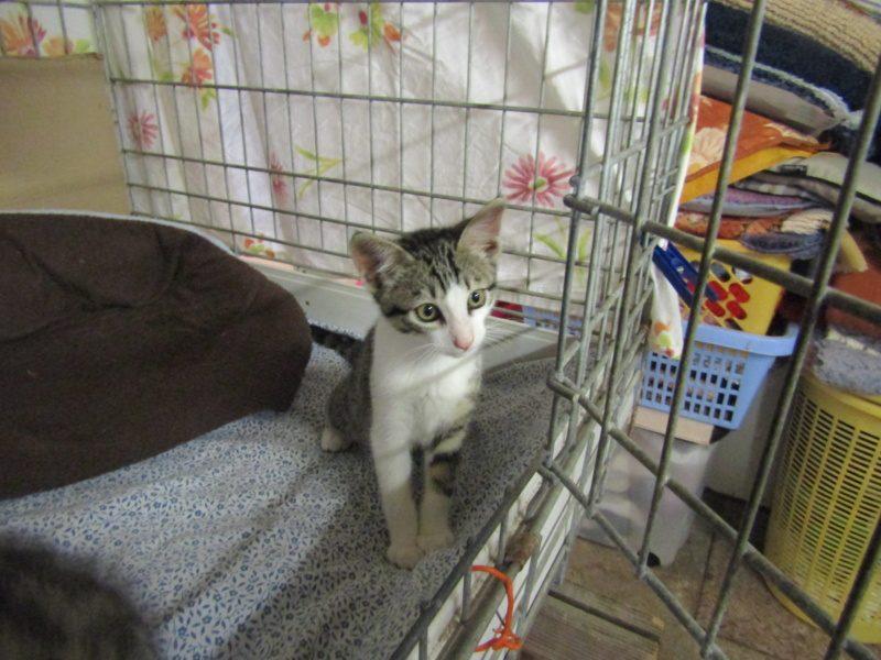 OPPY – 3 mois 1/2 – gentil chaton