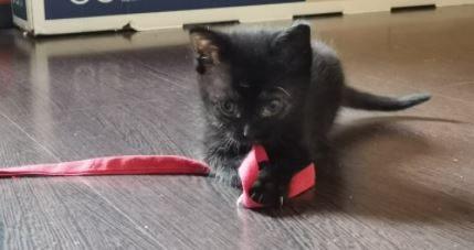XENA – petite chatonne noire (pour réservation)