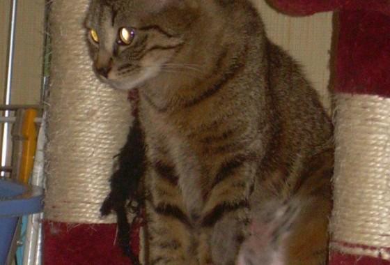 Jazzy chat femelle tigrée 9 mois