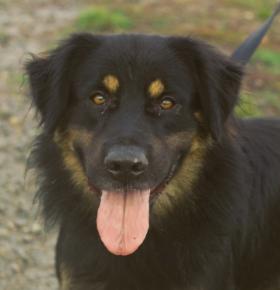 photo chien beauceron adulte